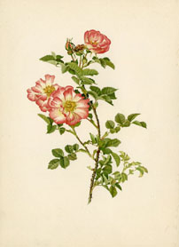 Rose Print - Sweet Briar (No. 10600145)