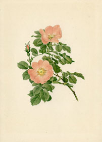 Rose Print - Dog Rose (No. 10600149)