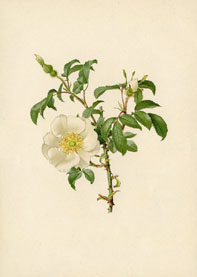 Rose Print - Chinese Rose (No. 10600175)
