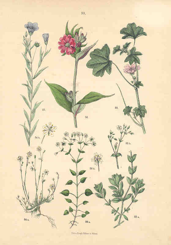 Flax, Campion, Chickweed