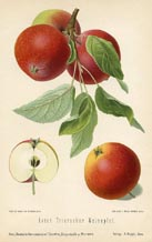 Fruit Prints - Apples (No. 10730021)