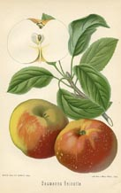 Fruit Prints - Apples (No. 10730022)