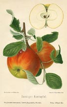 Fruit Prints - Apples (No. 10730025)
