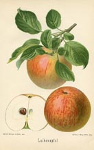 Fruit Prints - Apples (No. 10730026)
