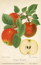 Fruit Prints - Apples (No. 10730029)
