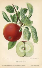 Fruit Prints - Apples (No. 10730032)