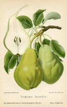 Fruit Prints - Pears (No. 10730074)