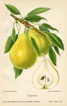 Fruit Prints - Pears (No. 10730076)