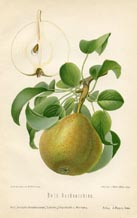 Fruit Prints - Pears (No. 10730077)