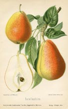 Fruit Prints - Pears (No. 10730078)