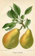 Fruit Prints - Pears (No. 10730079)