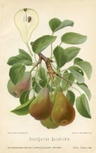 Fruit Prints - Pears (No. 10730080)