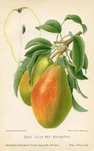 Fruit Prints - Pears (No. 10730081)