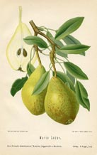 Fruit Prints - Pears (No. 10730082)