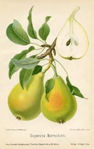 Fruit Prints - Pears (No. 10730083)