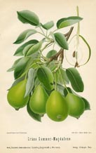 Fruit Prints - Pears (No. 10730084)