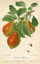 Fruit Prints - Pears (No. 10730085)