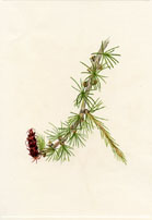 No. 10760381 - Lyall Larch