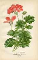 Botanical Prints - Geranium (No. 10880055)