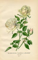 Botanical Prints - Rose (No. 10880077)