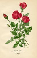 Botanical Prints - Rose (No. 10880080)