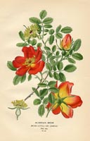 Botanical Prints - Rose (No. 10880081)