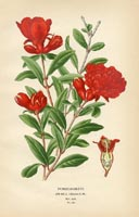 Botanical Prints - Pomegranate (No. 10880101)