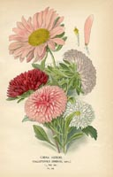 Botanical Prints - Asters (No. 10880132)