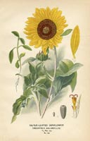 Botanical Prints - Sunflowers (No. 10880139)
