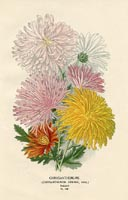 Botanical Prints - Chrysanthemums (No. 10880148)