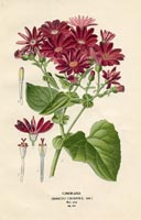 Botanical Prints - Cineraria (No. 10880152)