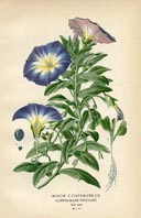 Botanical Prints - Convolvulus (No. 10880197)