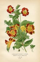 Botanical Prints - Monkey Flower (No. 10880212)