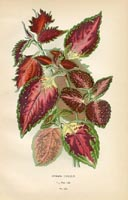 Botanical Prints - Coleus (No. 10880222)