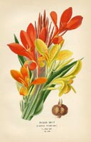 Botanical Prints - Canna (No. 10880248)