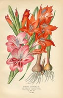 Botanical Prints - Gladiolus (No. 10880258)