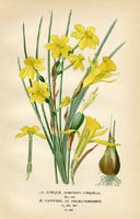 Botanical Prints - Daffodil (No. 10880259)