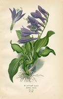 Botanical Prints - Lily (No. 10880268)