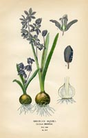 Botanical Prints - Squill (No. 10880278)