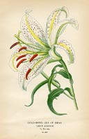 Botanical Prints - Lily (No. 10880279)