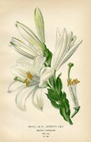 Botanical Prints - Lily (No. 10880281)