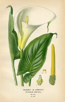 Botanical Prints - Arum (No. 10880295)