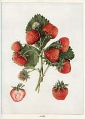Strawberry Print (No. 11220110)