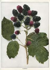 Blackberry Print (No. 11220202)