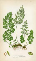 Parsley Fern Print (No. 11290278)