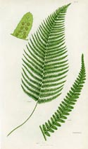 Male Fern Print (No. 11290283)