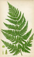 Prickly Fern Print (No. 11290285)