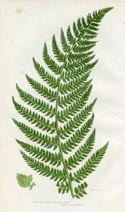Prickly Fern Print (No. 11290290)