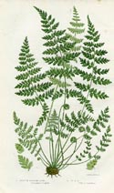 Bladder Fern Print (No. 11290291)