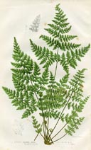 Bladder Fern Print (No. 11290293)